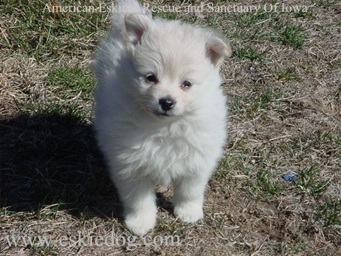 Spitz Dogs For Sale In Chennai