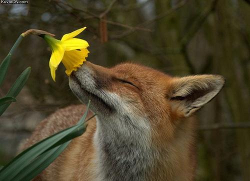 zorro, fox smelling a flor