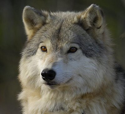 Wolf Pictures In The Wild | www.pixshark.com - Images ...