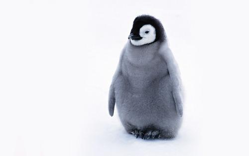 Cute chim cánh cụt