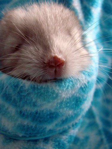 Cute Pictures of Chinchillas - chinchilla Photo