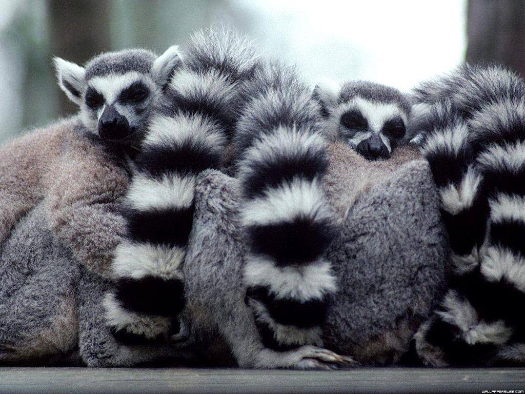 Simple Lemur Wallpaper - Lemurs-lemurs-24113696-1024-768  Pictures_768411.jpg