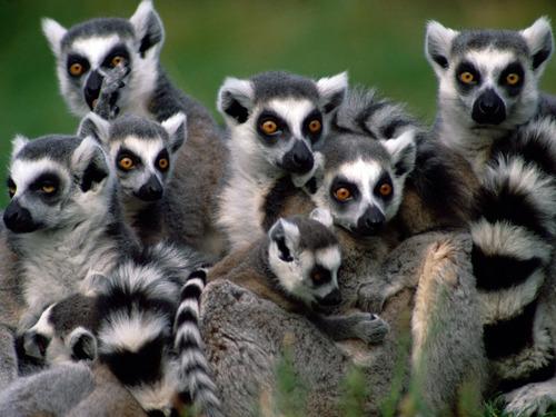 Madagascar Lemurs - lemurs Wallpaper