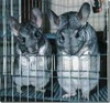 Random Chinchilla Pictures - chinchilla Icon