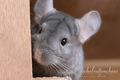 Random Pictures of Chinchillas