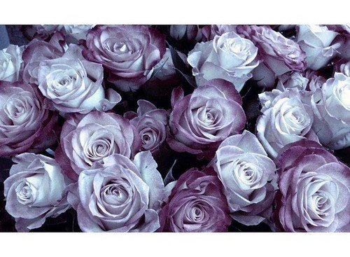 Roses are dreamy