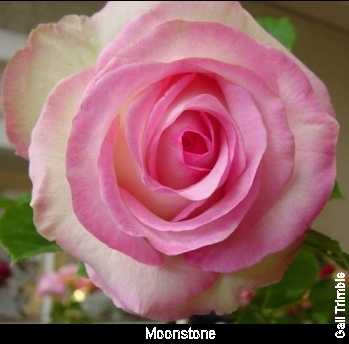 rosas are dreamy