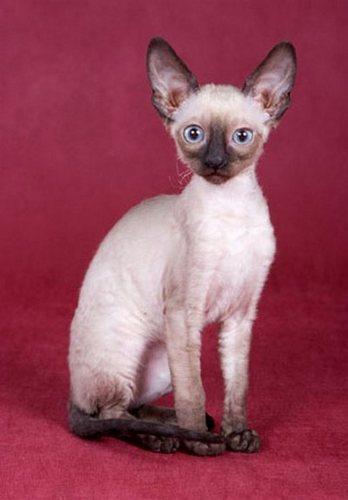 The 9 Weirdest Looking Cat Breeds