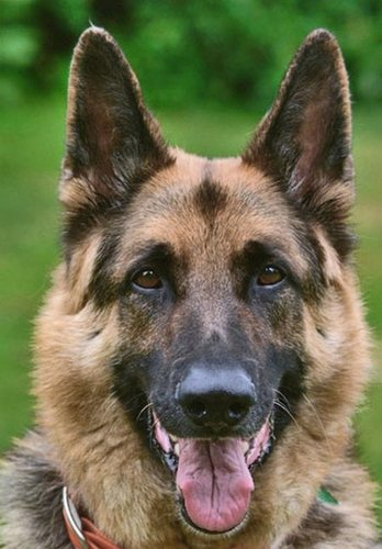 german shepherd - dogs Photo
