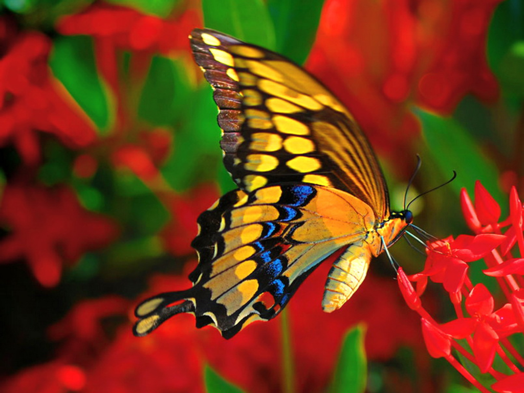 rose images Butterflies HD wallpaper and background photos 24220630