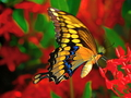Butterflies - yorkshire_rose wallpaper