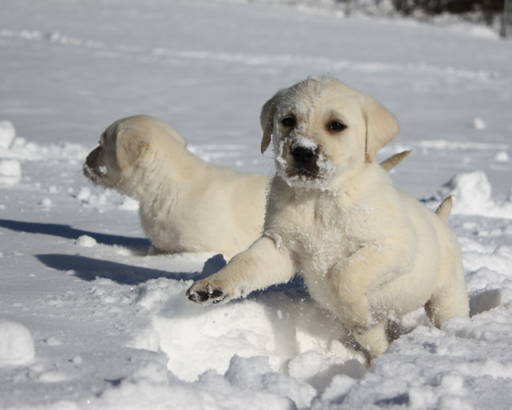 puppies playing in the snow