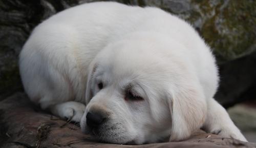 Lab 강아지 Sleeping