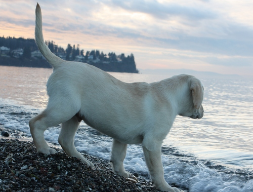 Labrador 강아지 at 바닷가, 비치
