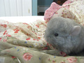 Random Baby Chinchilas - chinchilla photo