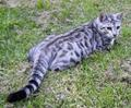 shadowtail - warrior-cats photo