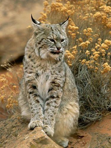 A Wild Bobcat