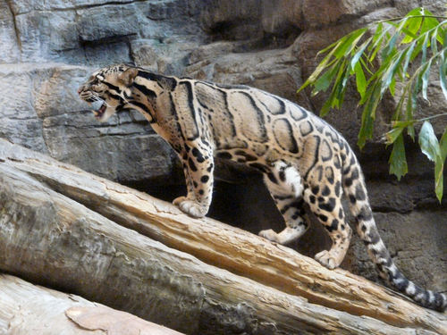 Clouded Leopard Log