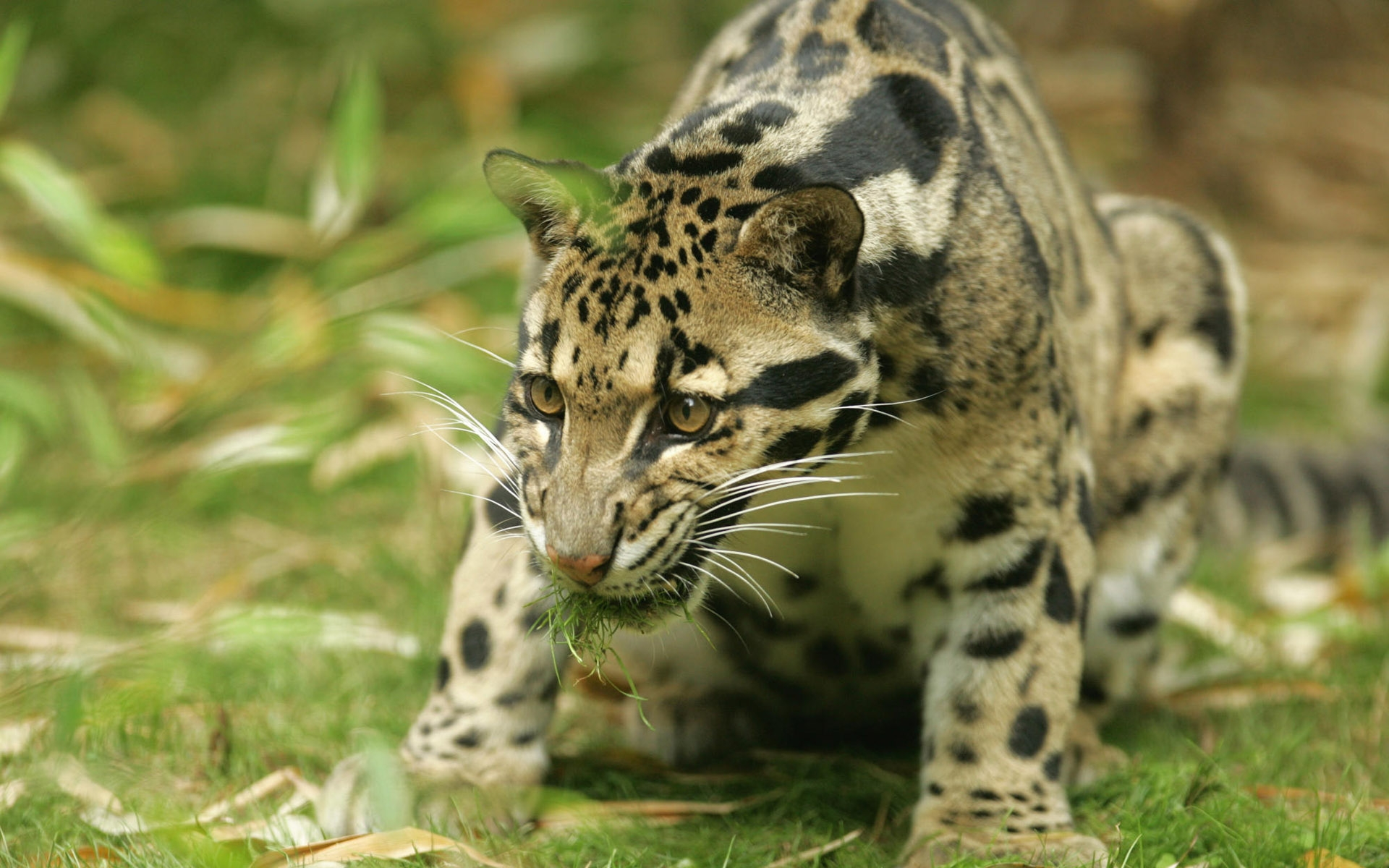 Clouded Leopards Images Clouded Leopard Hd Wallpaper And