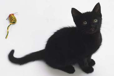 Cats wallpaper containing a cat and a tom titled Extremely cute Black Kitten