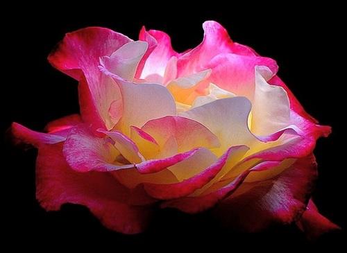 Rose for Princess