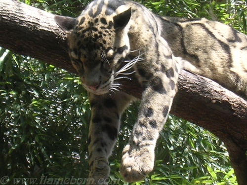 Sleeping Clouded Leopard