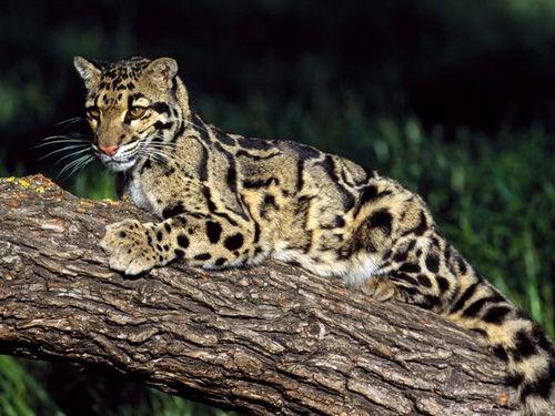 Wild Clouded Leopard