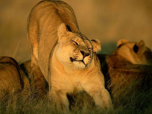 Wild löwin