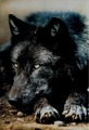 black भेड़िया