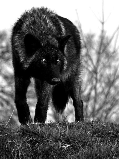 wolf in black and - photo #17