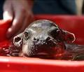 Baby Hippo - hippos photo
