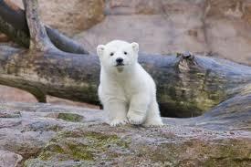 Baby Polar برداشت, ریچھ