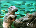 Hippo Wallpaper - hippos wallpaper