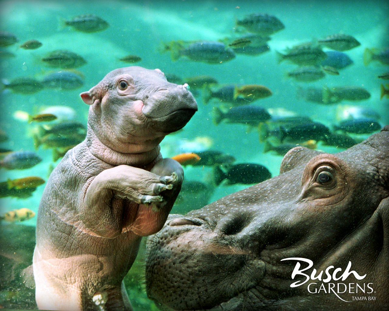 Hippos Images Hippo Wallpaper Hd Wallpaper And Background