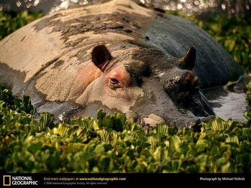 Hippo wolpeyper