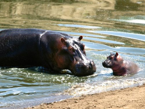 Hippo fondo de pantalla