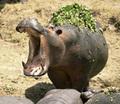 Hippo :) - hippos photo