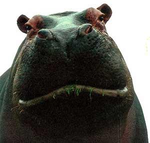 Hippo :)
