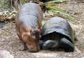 Hippo and Turtle :) - hippos photo