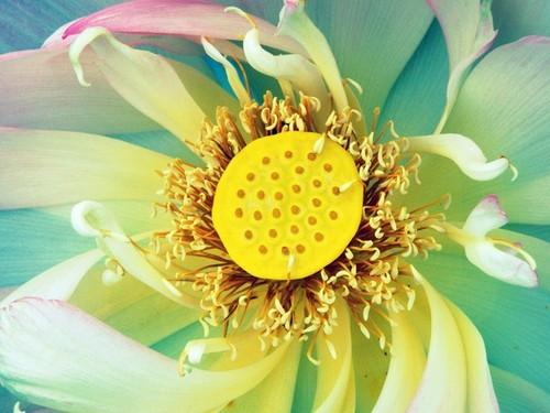 Lotus regenbogen blume