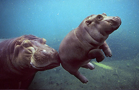 Mom and baby hippo - hippos Photo