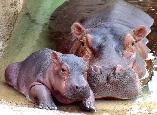 Hippo Food For Babies