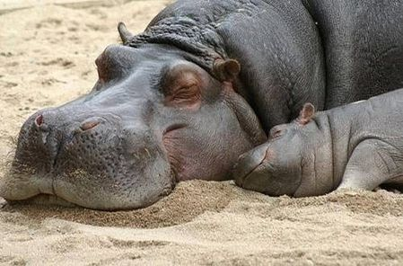 Mom and baby hippo