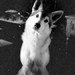 Nymeria - game-of-thrones-direwolves icon