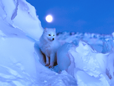 Polar rubah, fox