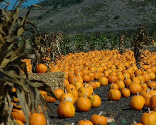 Pumpkins, Pumpkins Everywhere