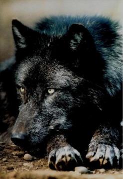 Волки for Ты