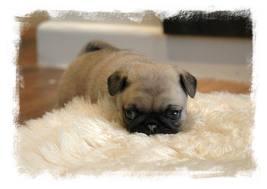 baby pug :)