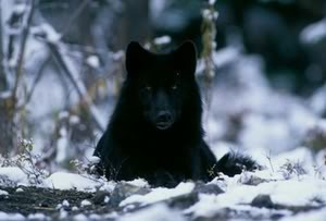black mga lobo