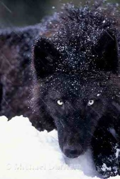black wolves